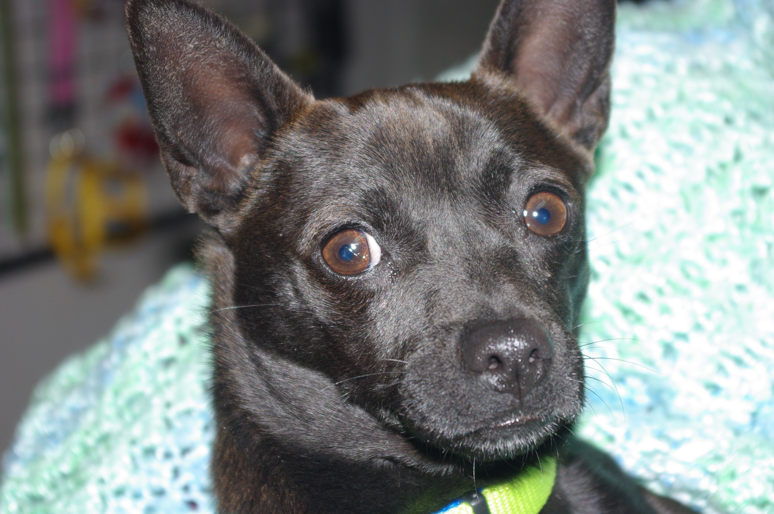 Chihuahua dog for Adoption in Longview, WA. ADN514686 on