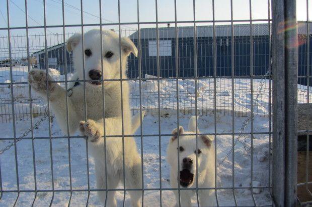 Iqaluit Humane Society Arctic Animal Rescue Arctic Animals Humane Society Animal Rescue