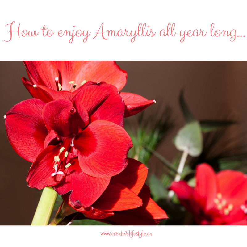 How To Enjoy Amaryllis All Year Long at http://crtvlsy.ca/2jT1TRs