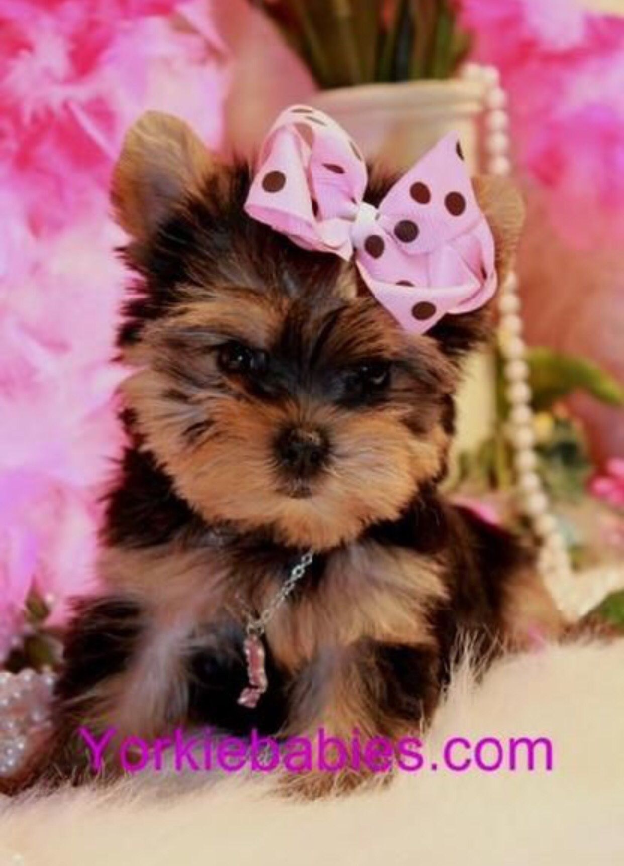 Pin By Tatiana On Pets Funny And Adorable Teacup Puppies