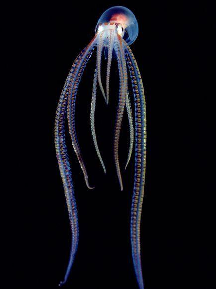Ocythoe tuberculata. Photo by Chris Newbert
