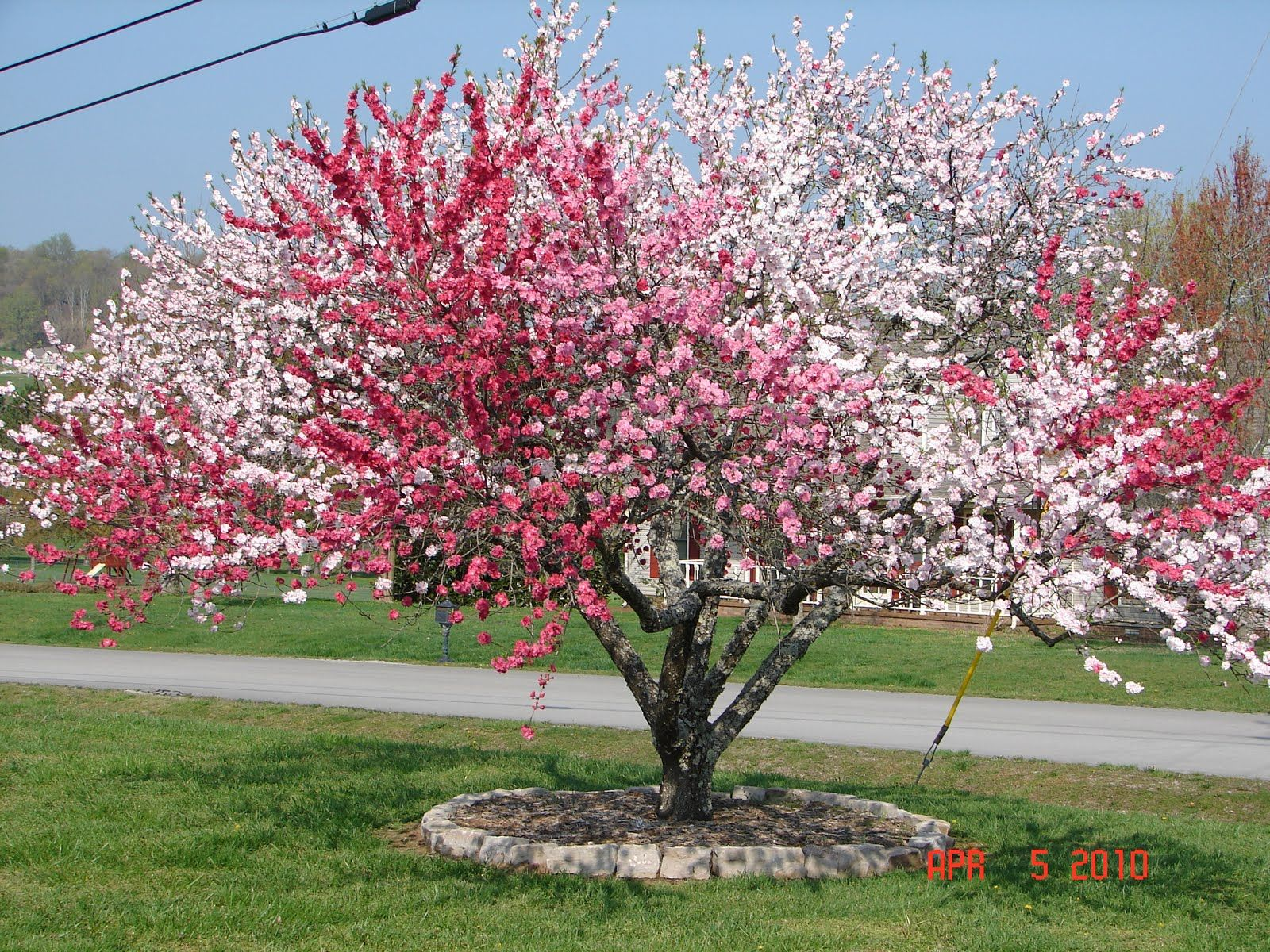 Photo Is An 18 Year Old Ornamental Peach Tree In Columbia Tennessee This Blooms With 4 Diffe Colors Bright Pink Peppermint