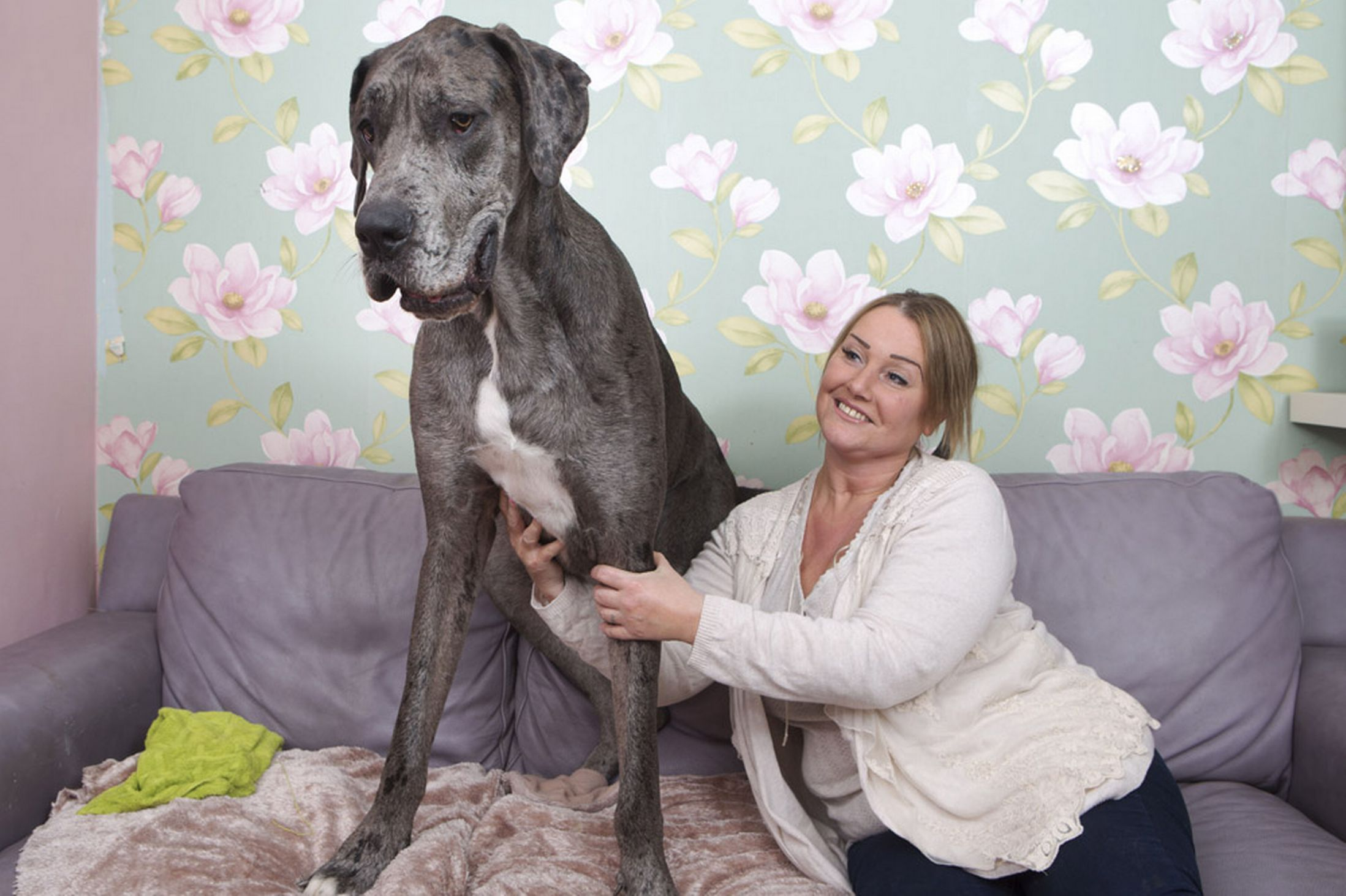 Britain S Biggest Dog Freddy The Great Dane Is Over 7ft Tall And
