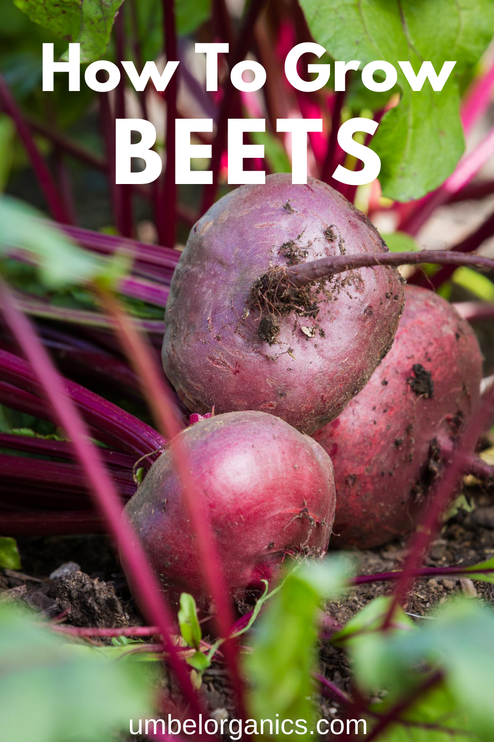 How To Grow Beets In Your Vegetable Garden Growing Beets Plant Sugar Beets