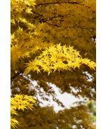 Coral Bark Japanese Maple (Acer palmatum 'Sangokaku') - Monrovia - Coral Bark Japanese Maple (Acer palmatum 'Sangokaku')