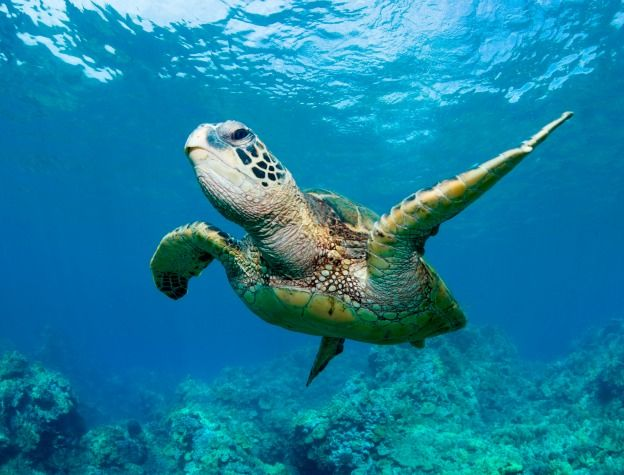 10 Endangered Species: Green Sea Turtle