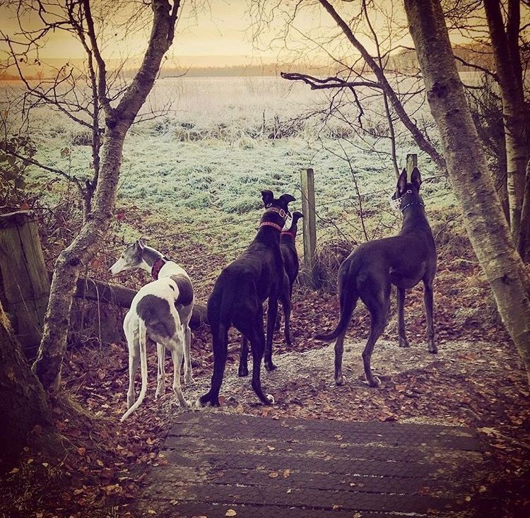 Lovely Group Shot! Greyhounds Make Awesome Pets. Whippets