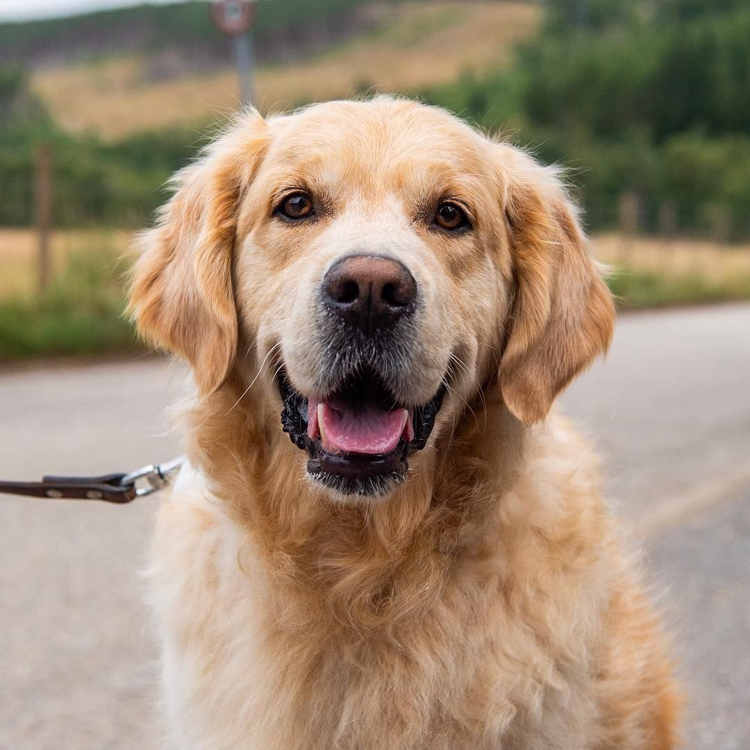 Pinterest Isabubs Golden Retriever Beautiful Dogs Dogs