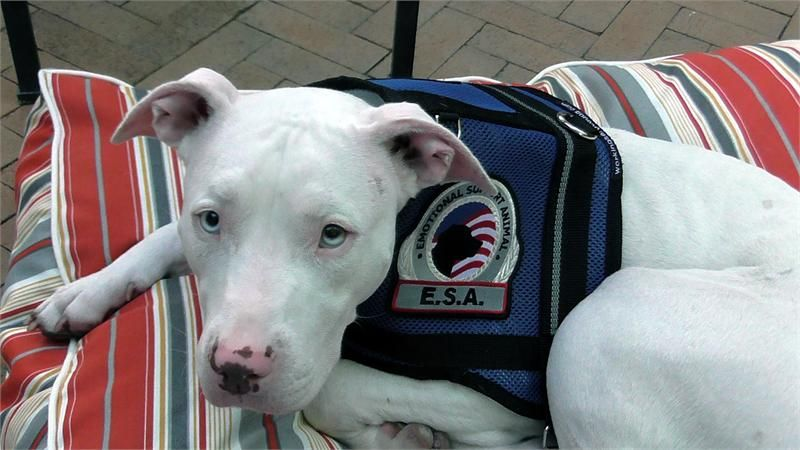 Image of: Chart Premium Mesh Emotional Support Dog Vest Officialservicedogregistrycom Premium Mesh Emotional Support Animal Vest Emotional Support Dog