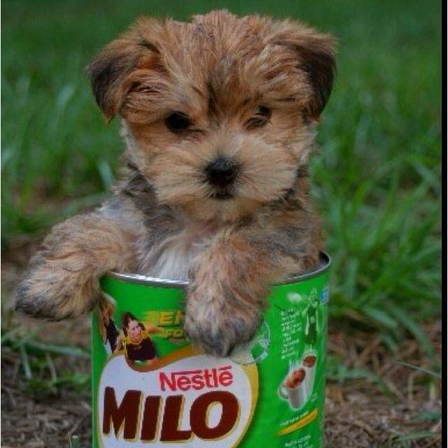 Milo The Morkie Djur