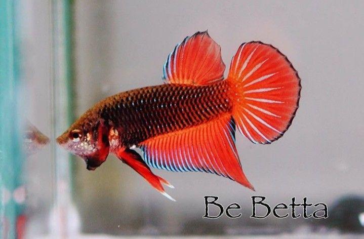 #bebetta #bettafish #betta #fish #by_be_betta