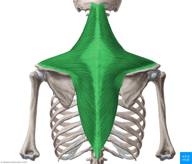 Trapezius Muscle Musculus Trapezius Muscle Vein Artery Nerve