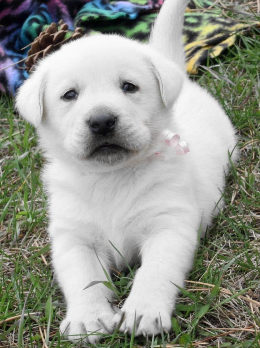 labrador dog White Lab Puppies Dog & Puppy Site i