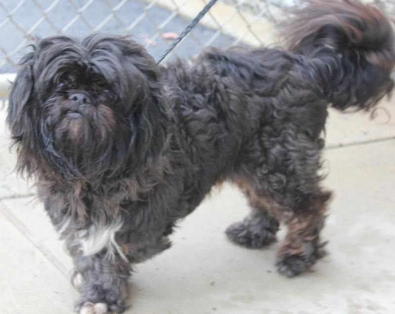 Adopt Zeus On Lhasa Apso Dogs Pets