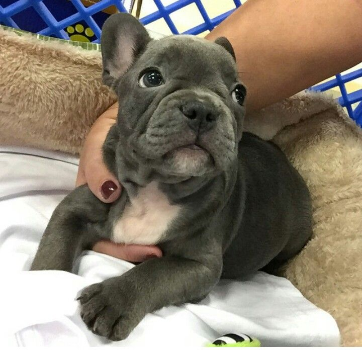 i want a blue frenchie to match my Weimaraner!!! Baby