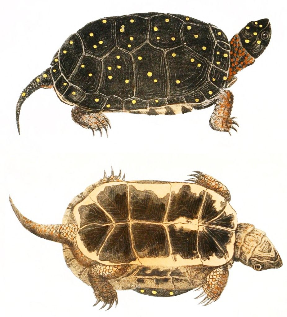 science/illustrated images of turtles anatomy | Animal – Reptile ...