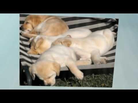 Labrador Retriever Puppies Qld Labrador Puppies Nsw Australia