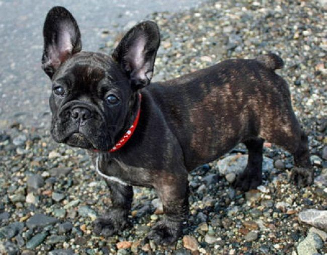 Pug And French Bulldog Mix Puppies Zoe Fans Blog Brindle