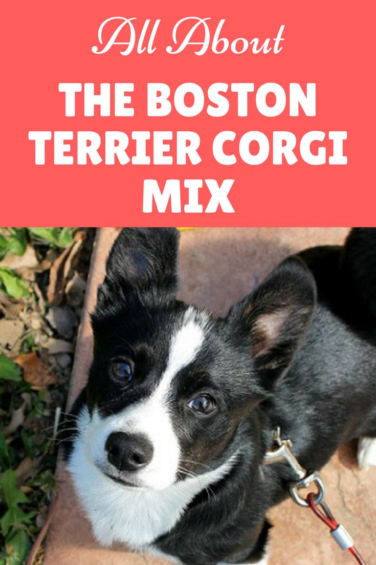 A Complete Guide To The Boston Terrier Corgi Mix How To Train Your Dog Corgi Mix Corgi Terrier