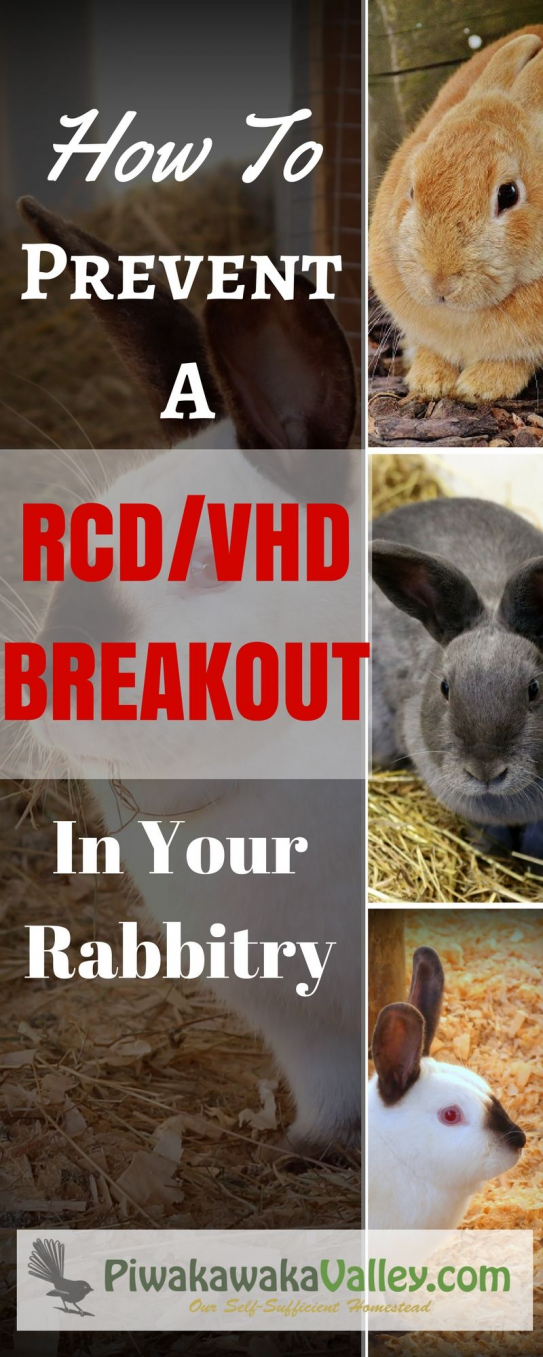 RCD is a vicious deadly disease. Here are some protocols you can put in place to prevent RCD/VHD in your rabbit colony #rabbithouses