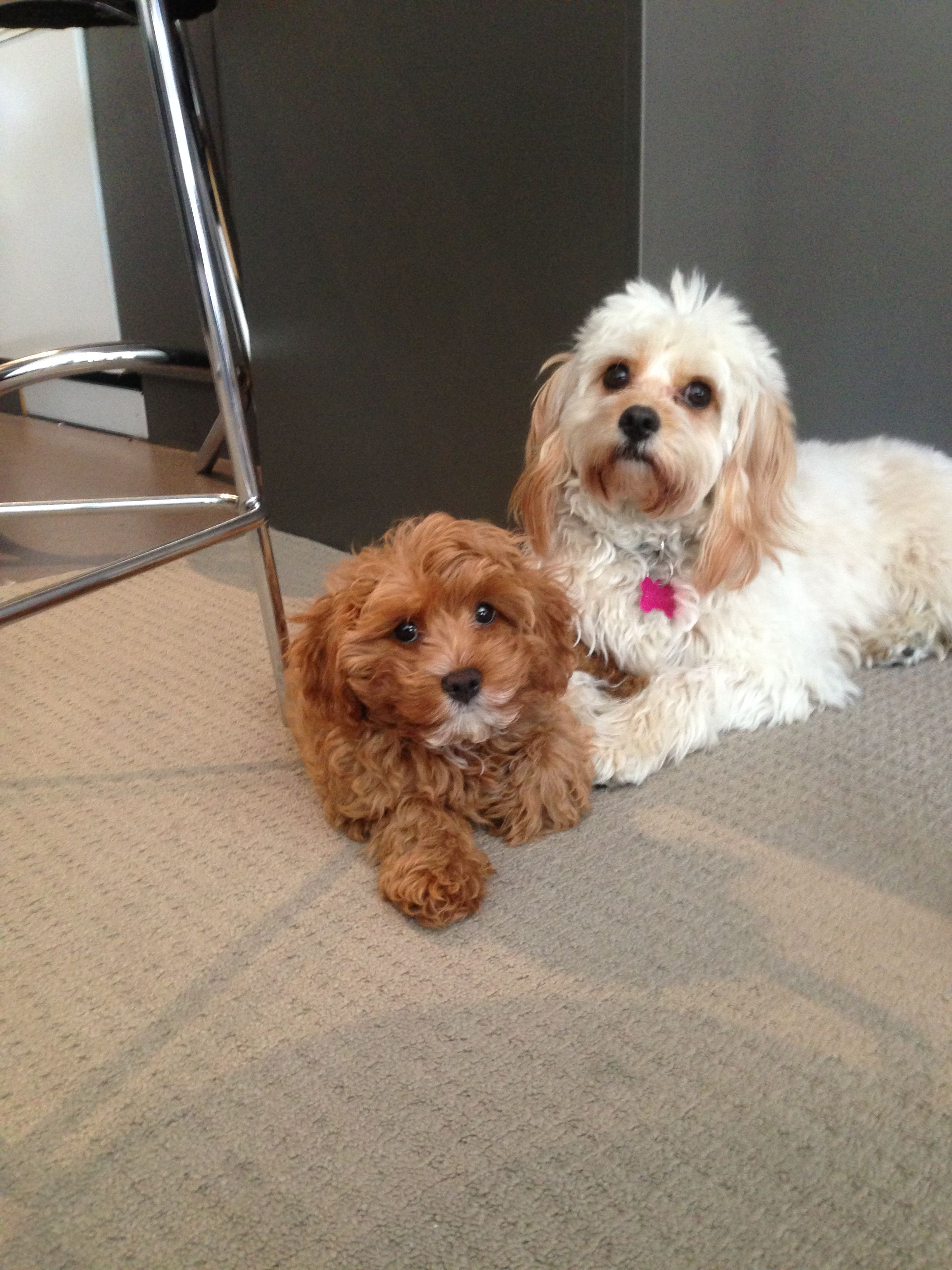 Latte And Red Toy Cavoodles Cavapoo Puppies Dog Toys Poodle Mix