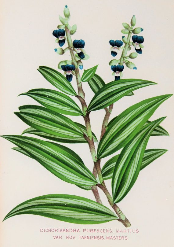 Spectacular 1880s Botanical Chromolithograph Blue by PaperPopinjay, $20.00