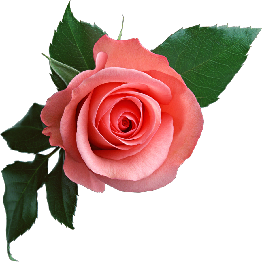 Download Png Image Pink Rose Png Image Free Picture Download Rose Flower Png Pink Rose Flower Beautiful Rose Flowers