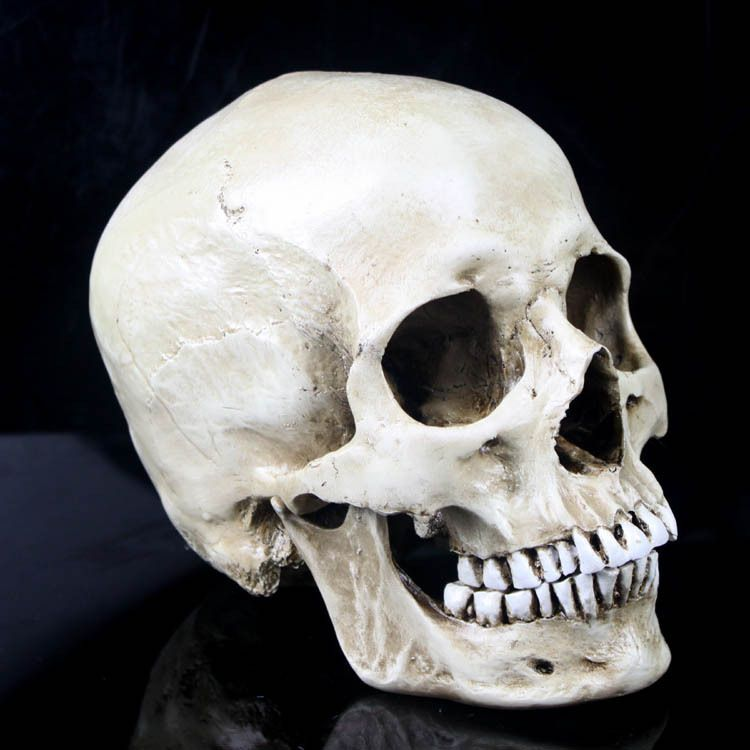 Medical Skull Model Reviews Online Shopping Reviews On Medical