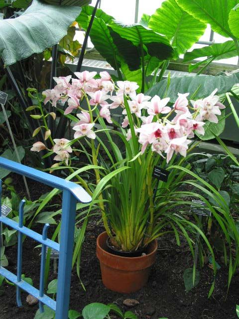 cymbidium  | ... My orchids in Basque Country: Consejos para el cultivo del Cymbidium