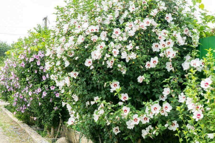 Blühende Hecken: 12 winterharte Hecken mit Blüten