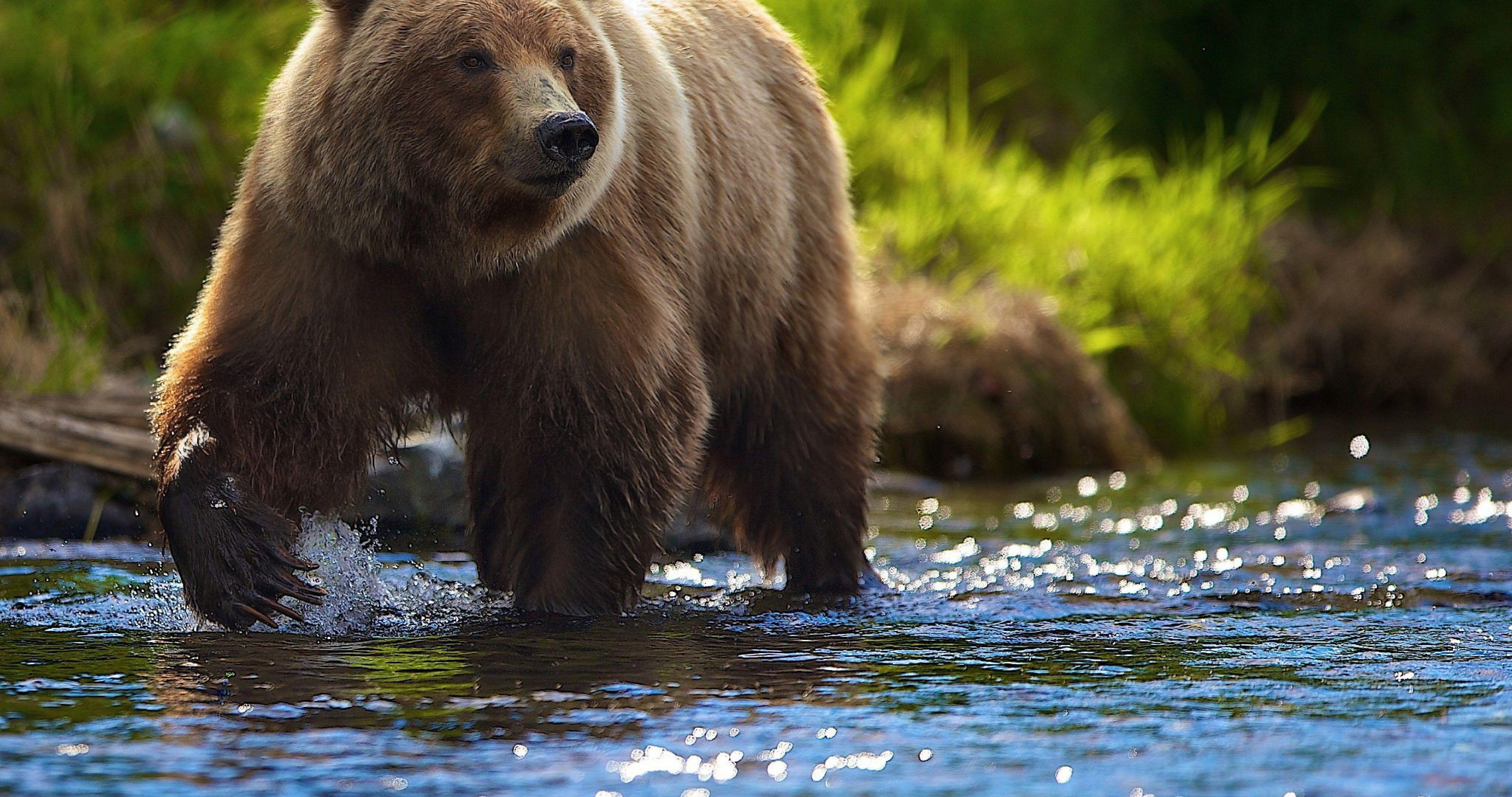 summer bear in river 4k ultra hd wallpaper Animales y