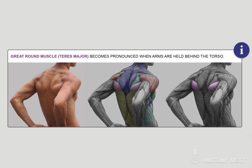 Anatomy Next - Anatomy of Torso: Anatomy & features | anatomy ...