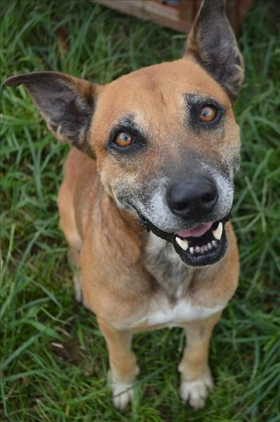Give An Older Dog A Secondchance This Is Max The Ridgeback Cross He May Be 7 Years Old But He S All Smiles Max Is Staying At Our Cairn Pets Animals Animal Rescue