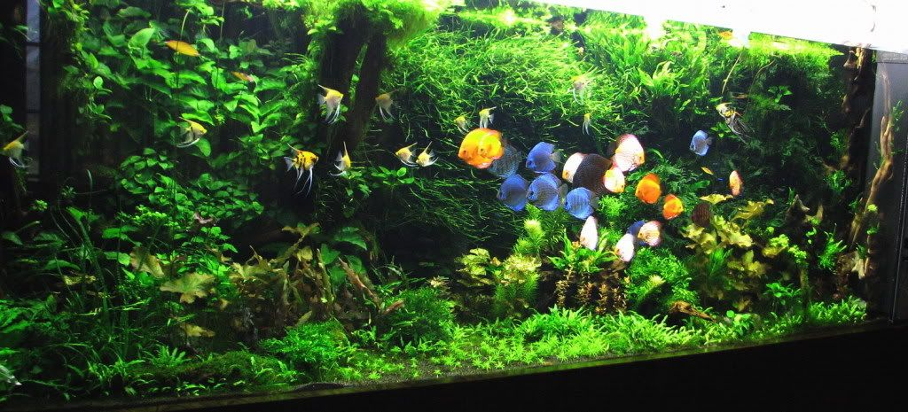 Big planted aquarium large size pinterest aquariums for Big freshwater aquarium fish