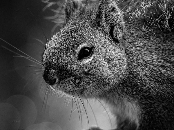Baby squirrel original fine art black and white animal photography by bob orsillo copyright