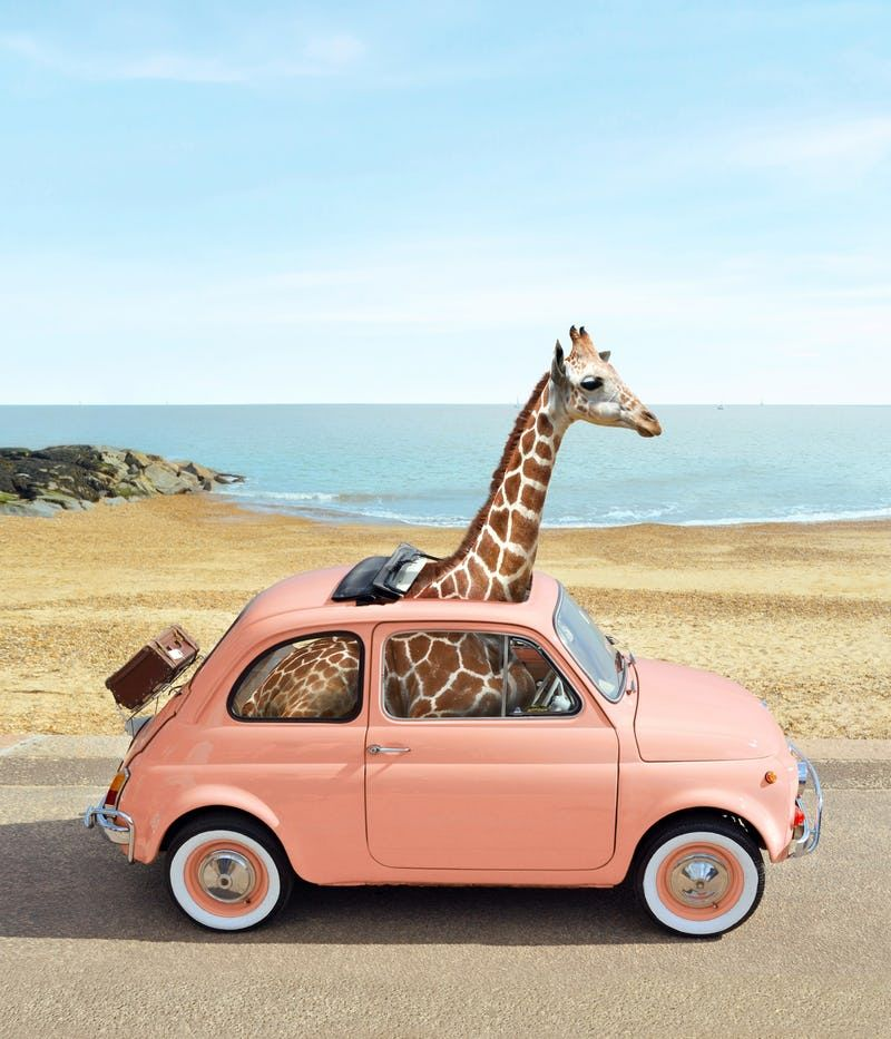 Italy Car Wallpaper Giraffe Pictures Giraffe Giraffe Art