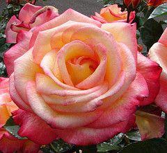 rosa - Fragrant Roses