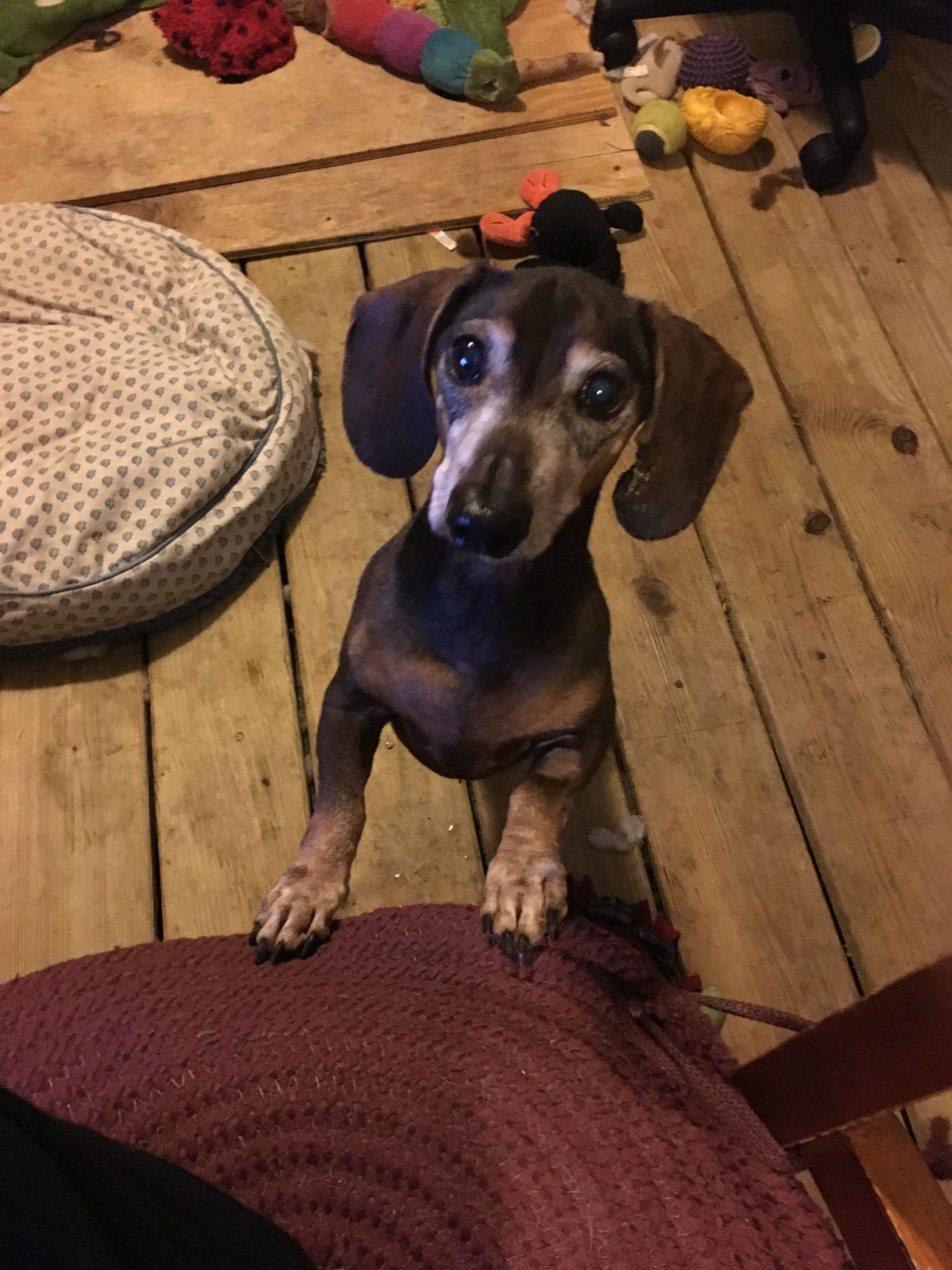 Adopt Deputy On Dachshund Rescue Old Dogs Dachshund