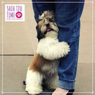 Shih Tzu Top Knot Short Hair Google Search Shih Tzu Dog Grooming Styles Puppy Stages