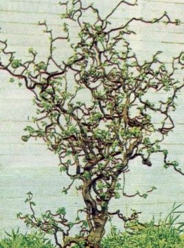 Pin By Becky Hering On Gardening Plants Bushes And Shrubs Corkscrew Hazel