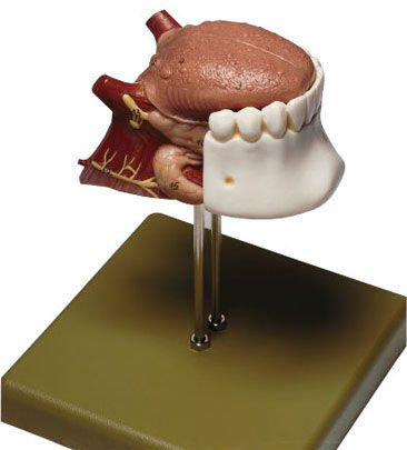 Tongue Anatomical Model Fs 8 Somso Anatomyphysiology Pinterest