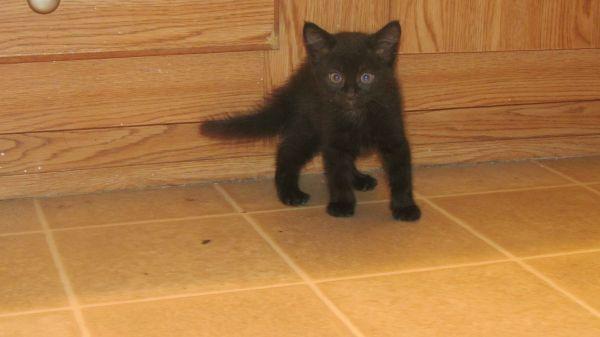 Cat Free Kittens Near Me Craigslist