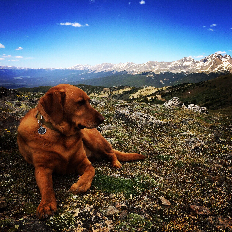 Lou. Fox Red Lab. Rocky Mountains. Dog. Colorado