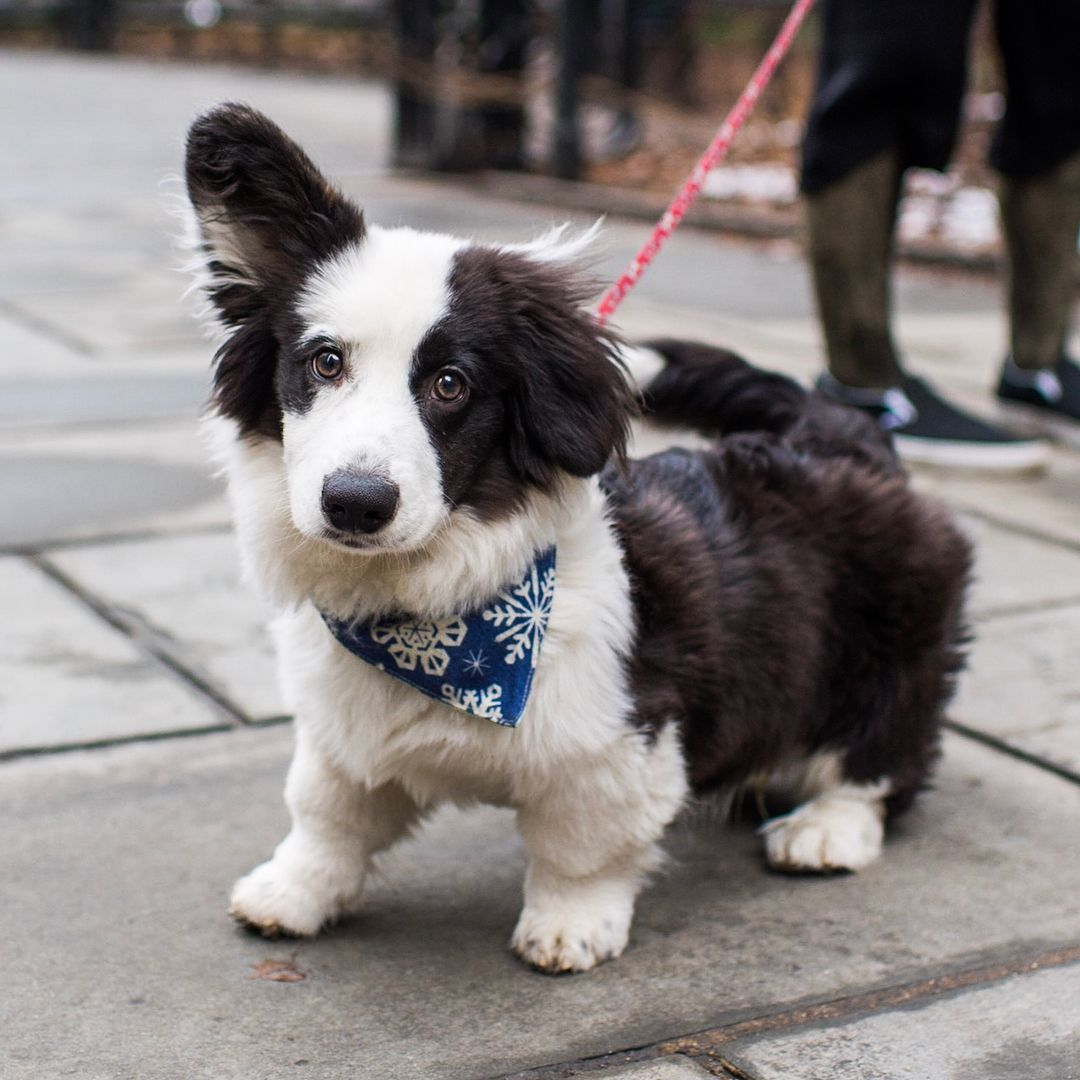 Bao Bao Cardigan Welsh Corgi Corgi Puppies Corgi Puppy