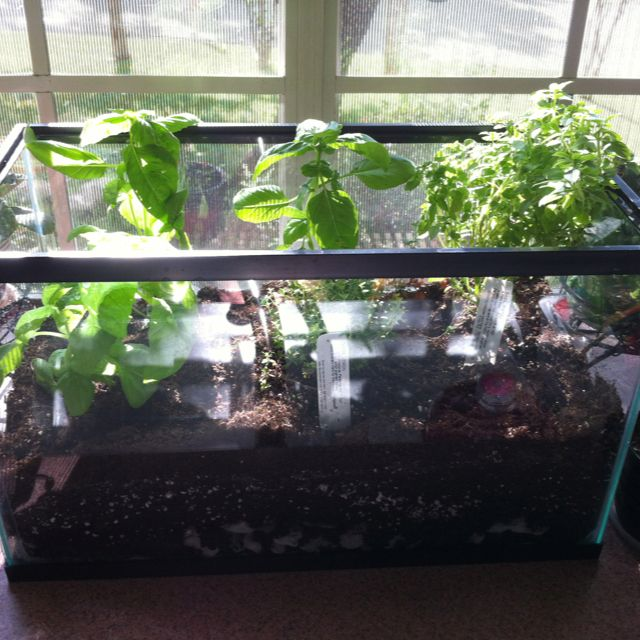 My Repurposed Aquarium Is Now An Herb Garden I Have Another With Seedlings Of Salad