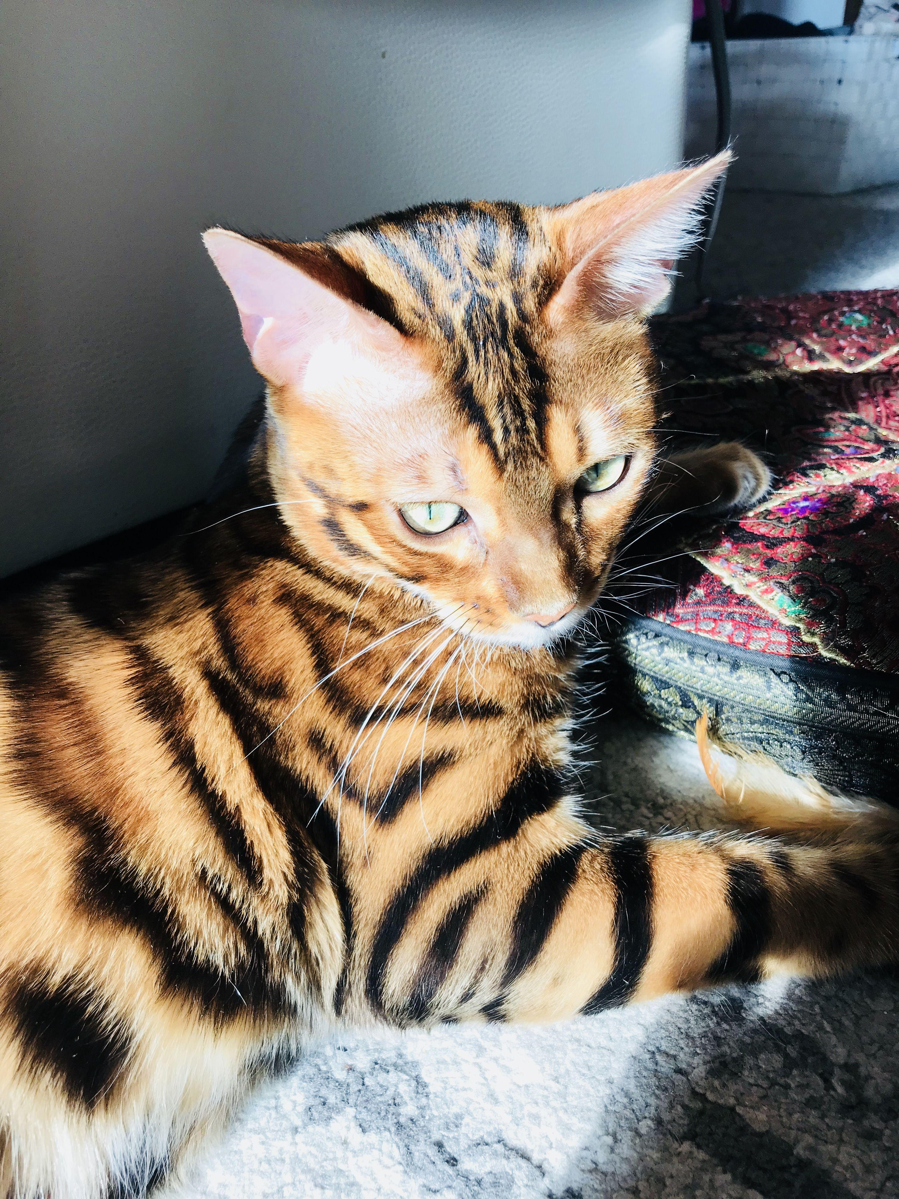 Bengalkatze, Bengalkater, Timur, Bengal Cat Bengal cat