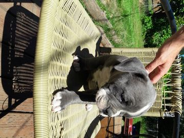 Litter of 7 Olde English Bulldogge puppies for sale in
