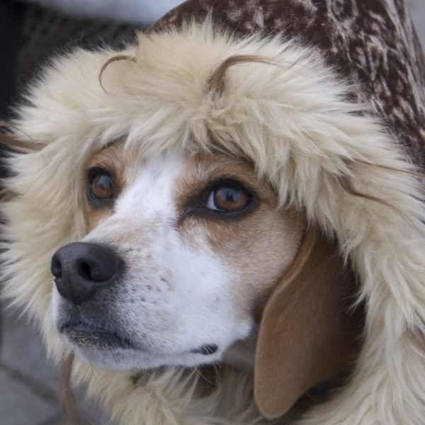 Zhivago Beagle.