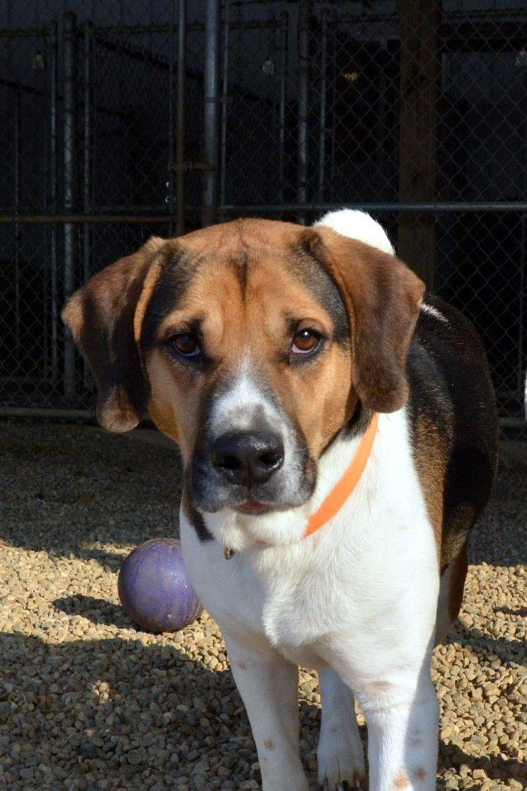 Adopt cody on dog adoption basset hound mix dogs