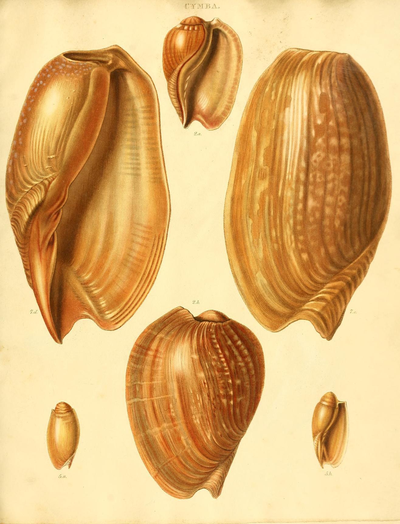 Species conchyliorum, or, Concise original desc...   Nature prints ...